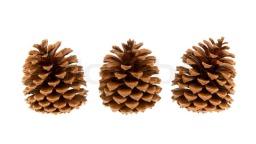 4893995-three-pine-cones-isolated